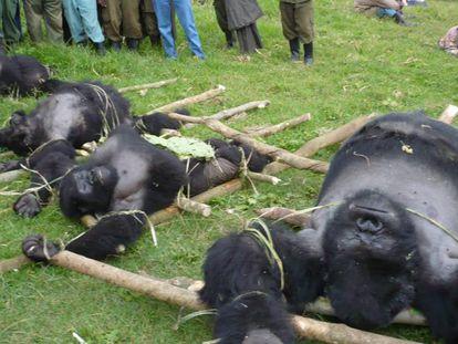 Gorilas caçados na República Democrática do Congo.