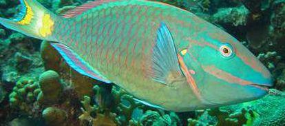 Imagem de um peixe papagaio.