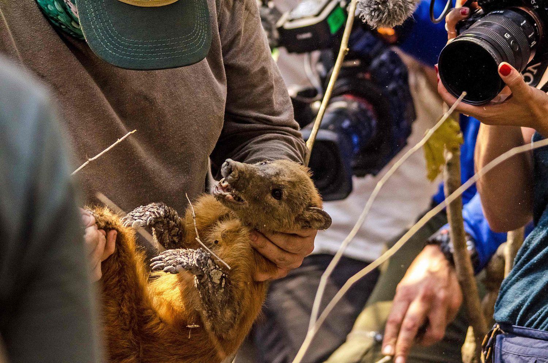 Biólogo segura um guaxinim, resgatado durante o mês de agosto no Pantanal.