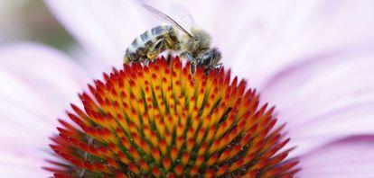 Uma abelha pousada em uma flor na região francesa de Rhône-Alpes.