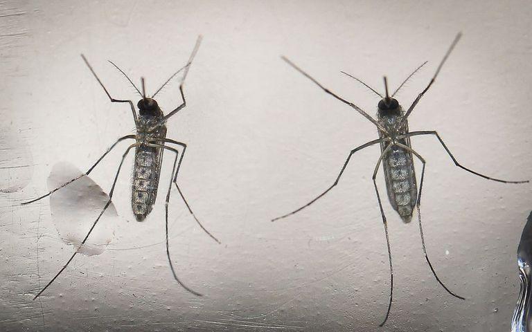 Imagem de arquivo que mostra mosquitos Aedes aegypti.Arquivo