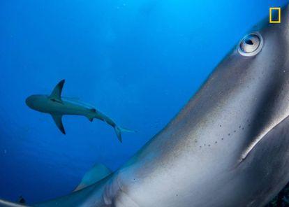 Um tubarão no recife de Caraíbas em Cuba.
