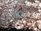 Una mujer fotografía los cerezos en flor, este martes en Tokio (Japón).