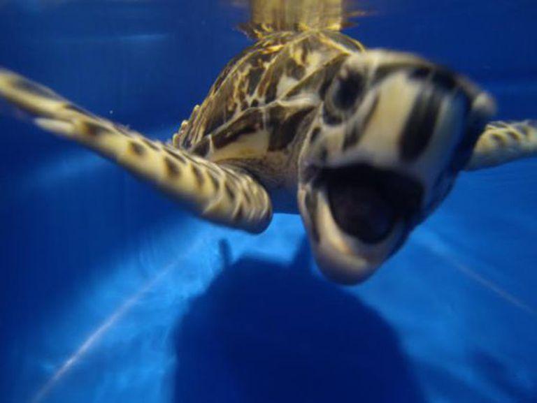 Imagem de uma tartaruga carey.