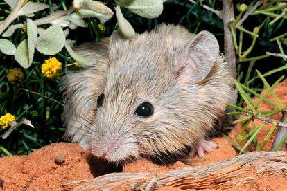 Um exemplar do rato-de-Gould, espécie redescoberta mais de um século depois de ser dada como extinta.