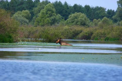 Alce nada na reserva Polésia, perto de Chernobyl