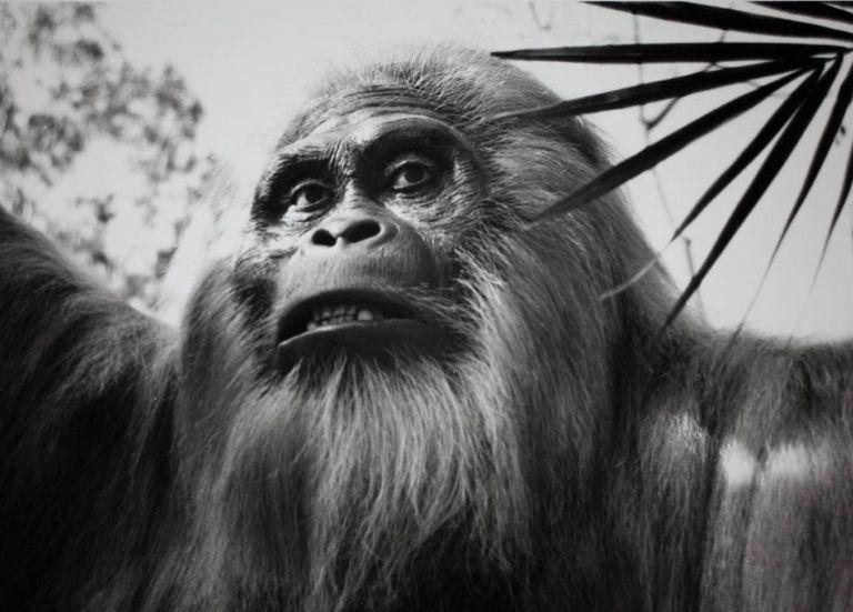 Reconstrução do gigantopiteco no zoológico de San Diego (EUA), em uma imagem de arquivo.