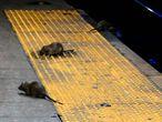 Vários ratos procuram comida na estação de metrô de Herald Square, em Nova York