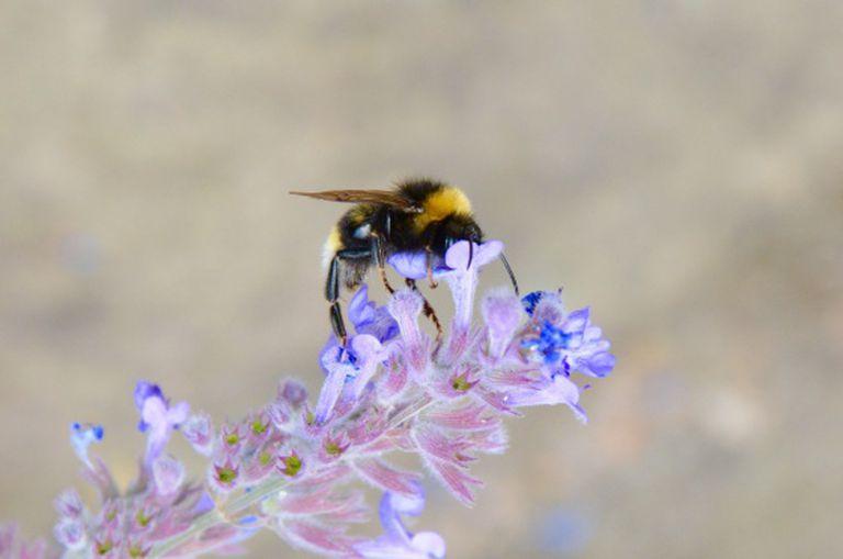 Uma mamangaba comum se agarra a uma flor em Nottingham (Inglaterra).