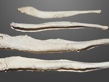 O báculo é um osso extraesquelético e ajudou os primatas a vencer no jogo do acasalamento