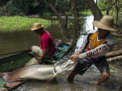 Pesca do pirarucu em aguas do Amazonas.