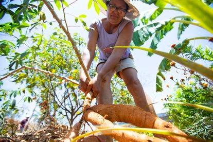 Loudizete de Almeida Farias colhe uma mandioca no seu quintal produtivo, no sertão cearense.