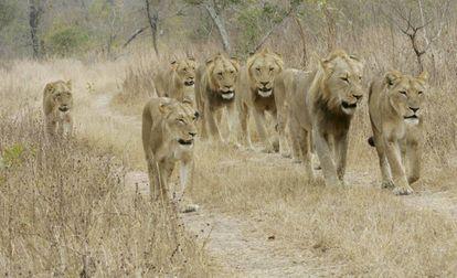 Uma manada de leões do Parque Nacional Kruger (África do Sul), em uma imagem de arquivo.