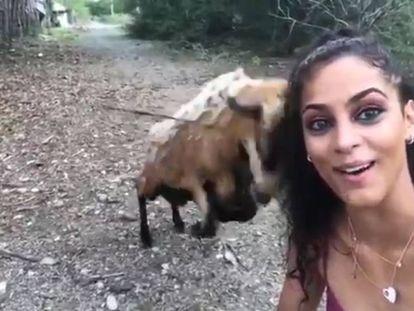 A cabra no momento da investida.