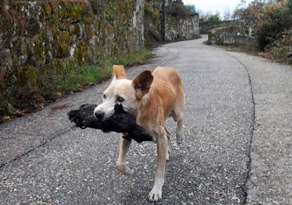 'Jacki' leva um pequeno animal no rescaldo do grande incêndio que assolou Fragoselo (Vigo) e Chandebrito (Nigrán).
