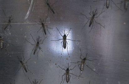 Mosquitos Aedes aegypti, transmissores do zika, em um laboratório.