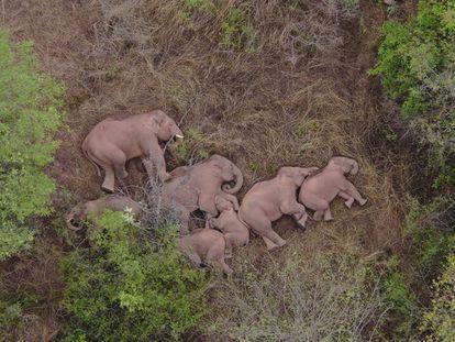 Em vídeo, a viagem inexplicável de 15 elefantes asiáticos pelo sudoeste da China.