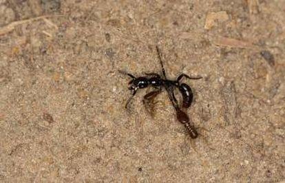 Uma formiga, com dois cupins agarrados a ela, teve de parar de se mexer devido ao esgotamento durante uma 'viagem' de volta