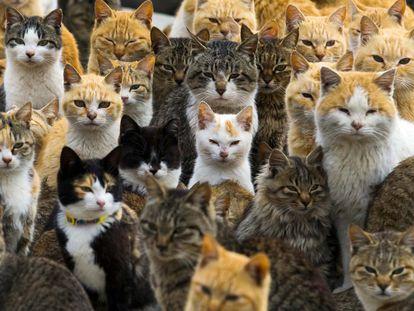 Um exército de gatos de rua governa uma ilha remota no sul do Japão, Aoshima, refugiando-se em casas abandonadas e passeando pelas ruas do povoado de pescadores, onde os felinos superam os seres humanos por seis a um. Na imagem, um grupo de gatos em uma das ruas.