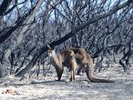 Paisaje devastado por el fuego en Kangaroo Island, en el sur de Australia.