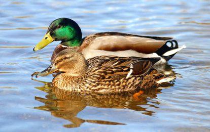 Em algumas espécies de pato uma em cada três cópulas é forçada