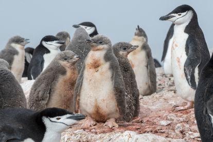 Pinguins e seus filhotes.