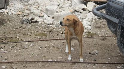 Um cão de rua em Porto Príncipe.