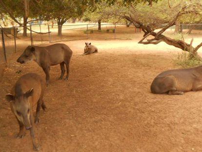 Antas no zoo de Zulia.