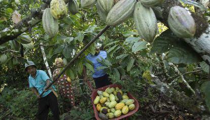 Uma plantação de cacau na Indonésia.